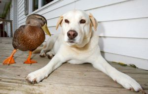 dog-and-duck1_19366_600x450